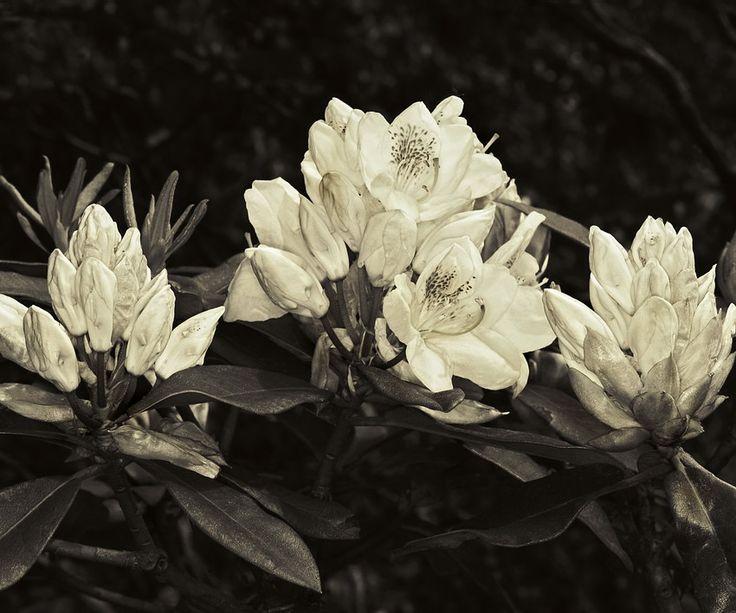 Sobre flores. Fotos: Alyogyne, ou Hibiscus Lilás; Trepadeira, Akebia Quinata, arbusto do Japão; Abelia; Azalea e Rododendro, arbustos do mesmo género