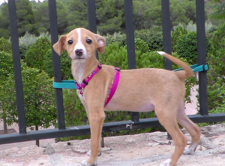 This is Pilly, female, born approximately July 2013, 3 kilos, 26cms tall. Looks like a chihuahua cross.  Pilly was left abandoned in a fruit box outside the shelter. She is adorable and needs a home quickly!! Contact: adoptions@iara-alliance.org