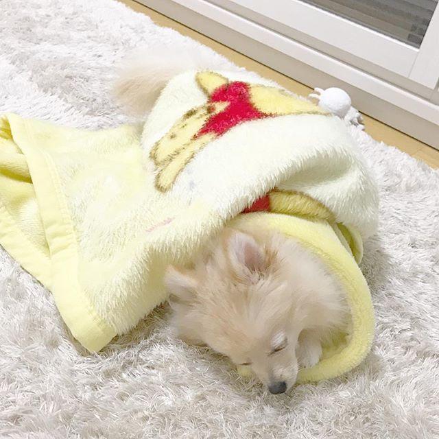 . ցօօժ ʍօɾղíղց ♡ʾʾ . ぽぽちゃんハウスに敷いているフリース。 . 洗いたてのふかふかがお気に入り…♡♡♡ . . #ぽぽちゃん #ポメラニアン #ポメラニアン大好き #ポメラニアン部 #ポメラニアンクリーム #ふわふわ #もこもこ #愛犬 #大好き #かわいい #cute #love #pom #pomeranian #pomestagram #pomeranianworld #dog #dogstagram #instadog #followme #犬のいる暮らし #happy #おはよう #goodmorning #寝起き #プーさん #ひざ掛け #最高 #の #布団