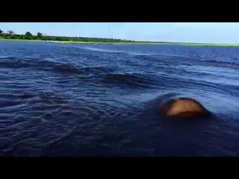 Whoa! We'd never thought we'd see a video of a high-speed hippo chase, but alas, here we are.
