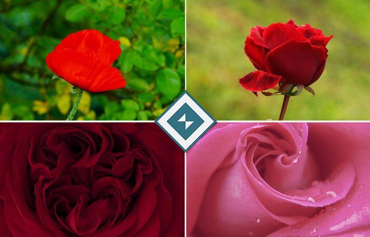 #Róże to #kwiaty, które potrafią pomóc nam wyrazić wiele różnych uczuć. #Obrazy z nimi w roli głównej świetnie sprawdzą się na przykład w #sypialni do podkreślenia romantycznego #nastroju albo w #salonie, gdzie dodadzą nieco charakteru Twojemu #wnętrzu.   Obrazy z różami (a także wieloma innymi kwiatami) dostępne są w naszej ofercie: https://fedkolor.pl/13-kwiaty  #obrazynapłótnie #dekoracje #sztuka #nowoczesna #reprodukcje #artyści #salon #sypialnia #pokój #fototapety #fotoobrazy
