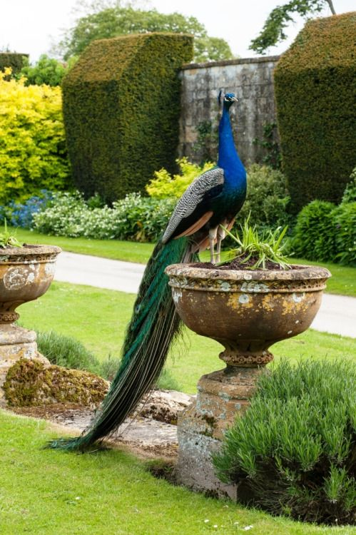 A Peacock in the Sudeley Pheasantry