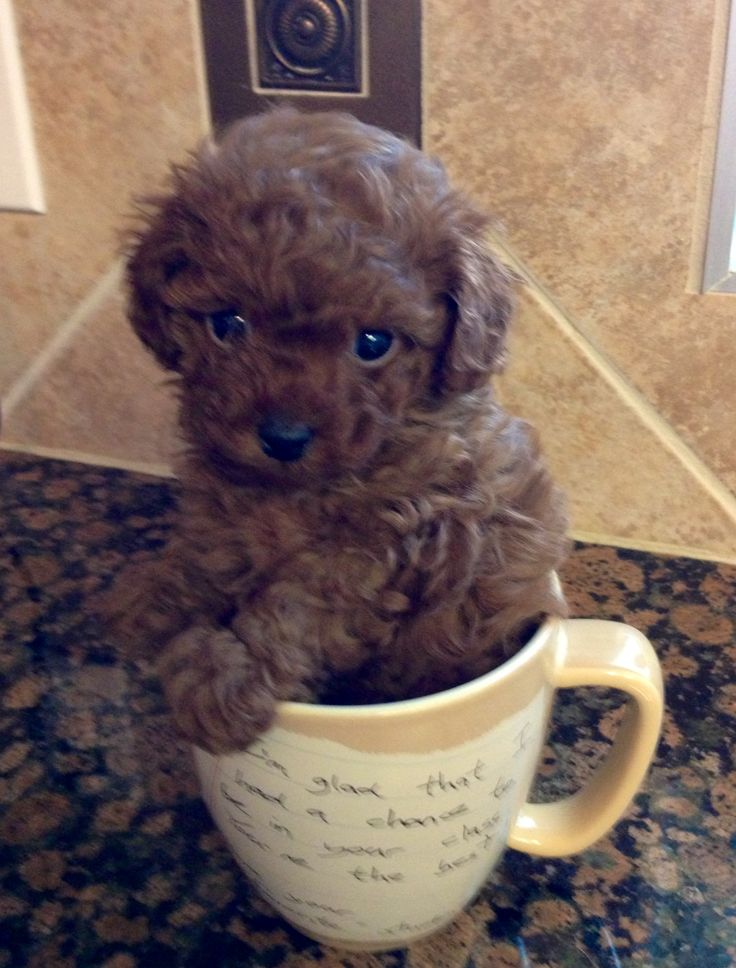 My little teacup poodle! ♥ #teacupdogslist #teacupdogs #teacupbreeds…