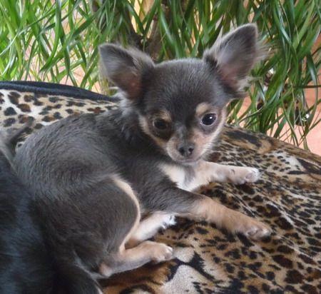 Blue Tan Chihuahua Chihuahua welpen, Hunderassen kleine