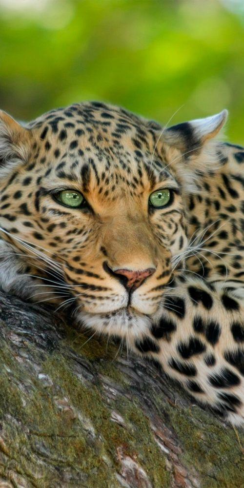 Leopard Zeichnung