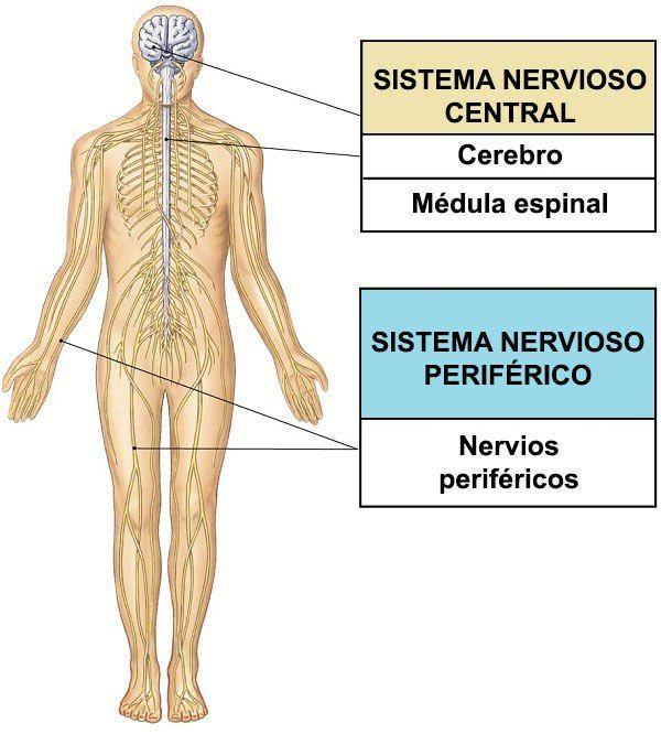 Sistema Nervioso Central Periferico Sistema Nervioso Sistema Nervioso Periferico Sistema Nervioso Humano