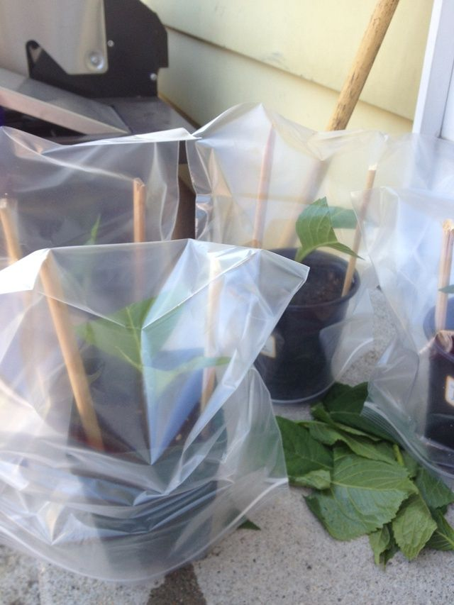 Put the ziplock bag on top of the plant. Make sure to use a big enough bag and that he leaves or the plant aren't touching the bag. That is what the sticks are for!