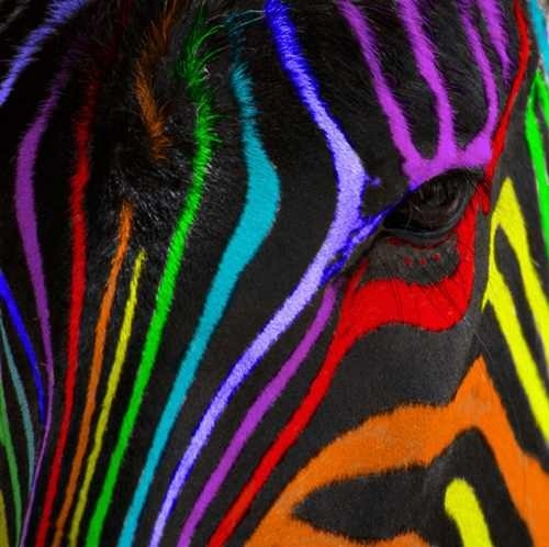 Rainbow Zebra.... yes it is real.... I got it on pinterest!  get your facts right lady!  lol