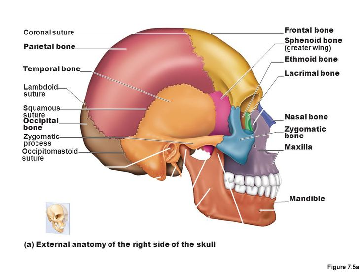 sphenoid bone and ethmoid bone bones of the axial skeleton the, Human Body