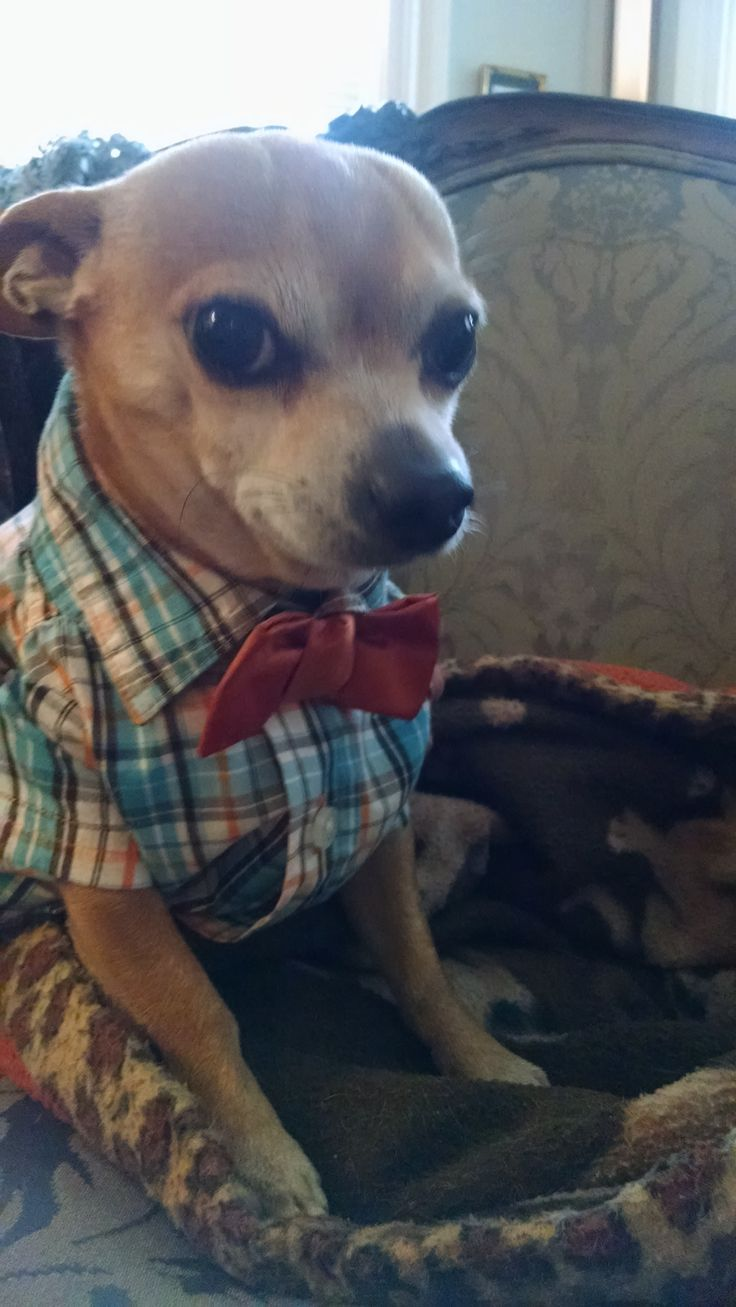 Chihuahua Costumes For Halloween