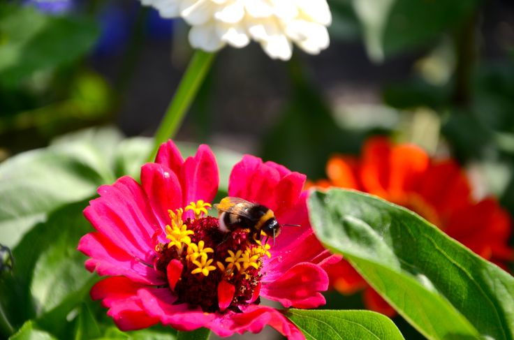 #Hommel #Insect