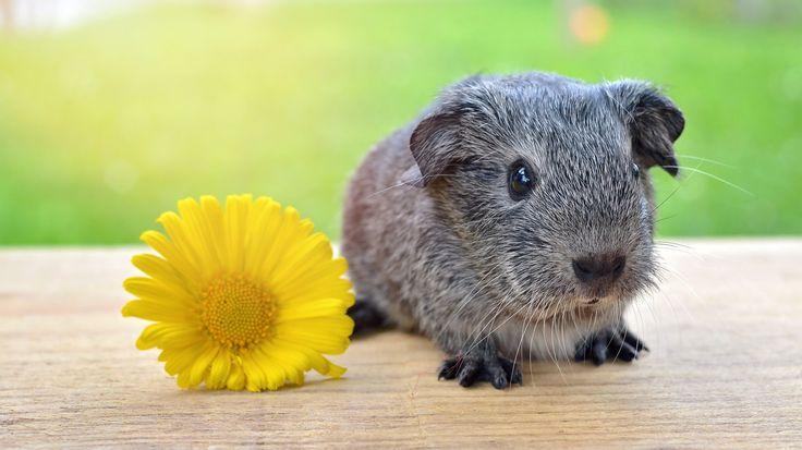 1366x768 Wallpaper guinea pig, flower, rodent, grass
