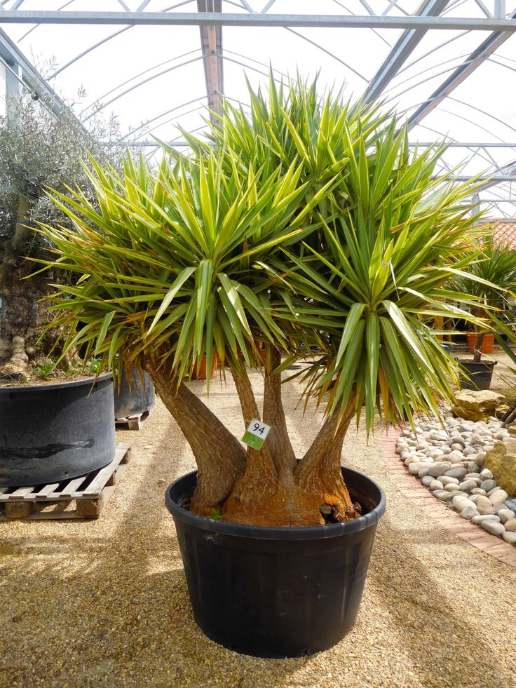 Yucca Jewel No.94 Olive Grove Oundle Yucca, Fast