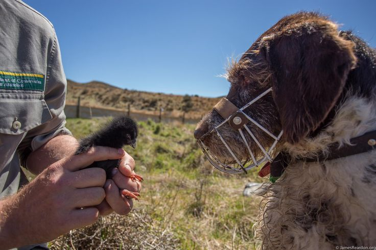 Yuki, the conservation dog, is pretty chuffed with his latest find! #takahe #nzbirds