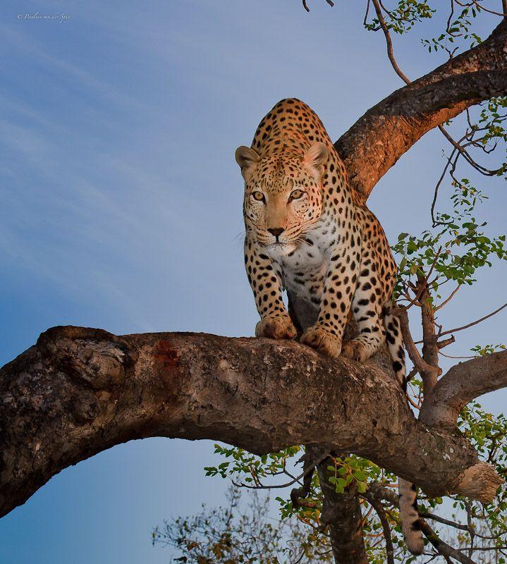 Africa | Leopard stare.  © Pauline van der Spuy.