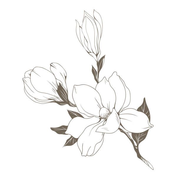 Magnolia Illustrations Royalty Free Vector Graphics Clip Art Istock In 2020 Flower Vector Art Abstract Line Art Flower Drawing