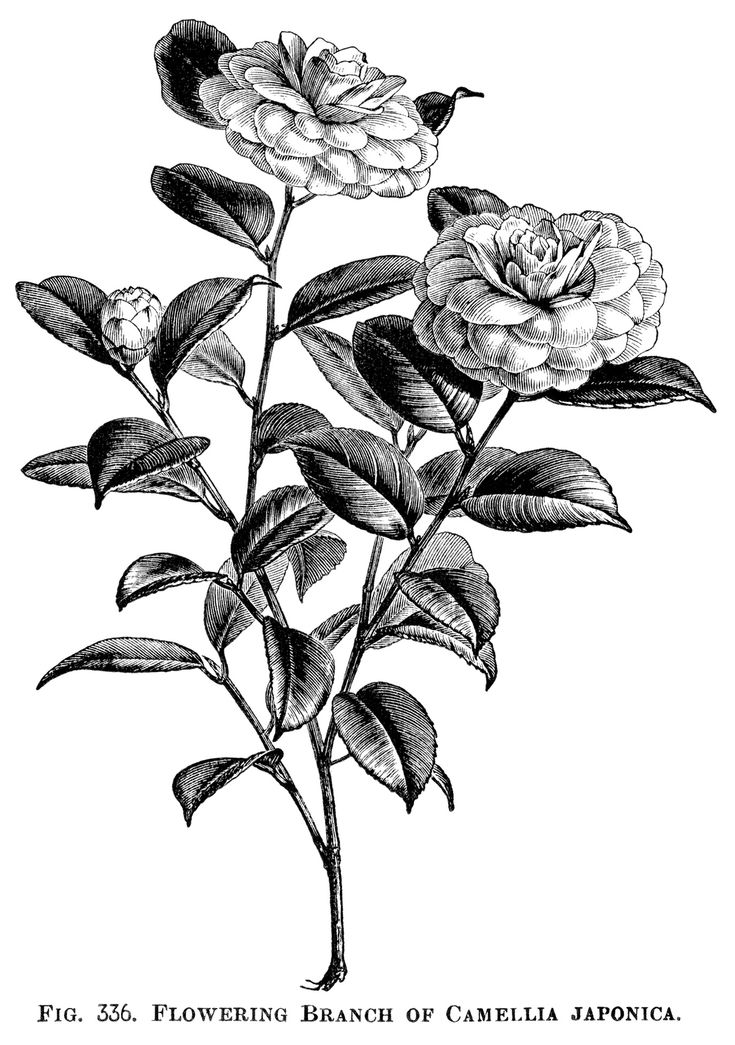 Japanese rose, camellia japonica, flowering rose branch, vintage garden clip art, black and white clipart, beautiful rose engraving