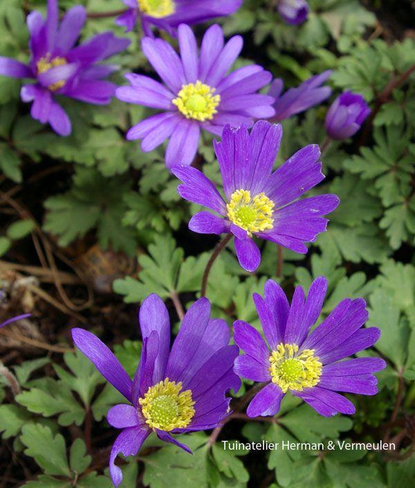 Blauwe anemoon of anemone blanda bloeit maart april met mooie blauwpaarse of witte bloemetjes. Prachtig als bodembedekker, verwilderen goed als ze niet te nat staan en de woelmuizen ze niet opeten. De kleine droge zwarte knolletjes eerst een nachtje laten weken voor je ze plant.