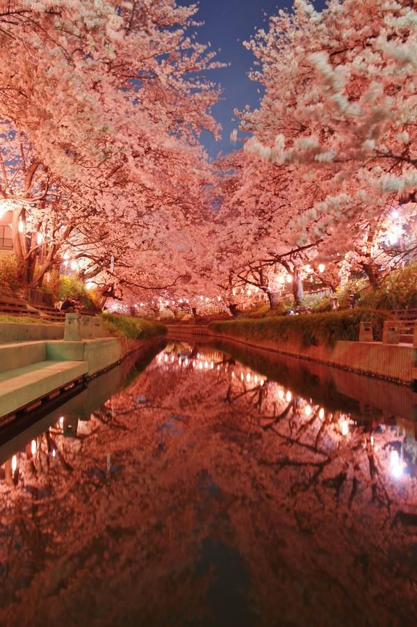 元荒川の夜桜