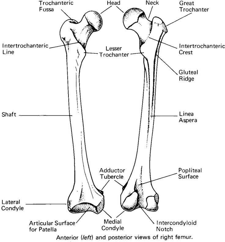 bony landmarks of the femur