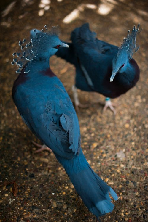 Victoria Crowned Pigeons-- we could probably tolerate pigeons here  if they looked like this??? :)