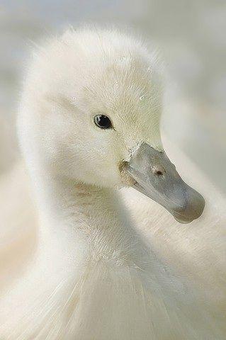 White duckie