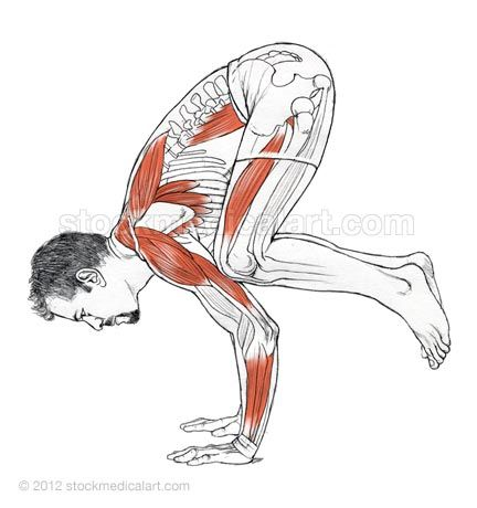 Bakasana side view - Leslie Kaminoff Yoga Anatomy Illustrated by Sharon Ellis