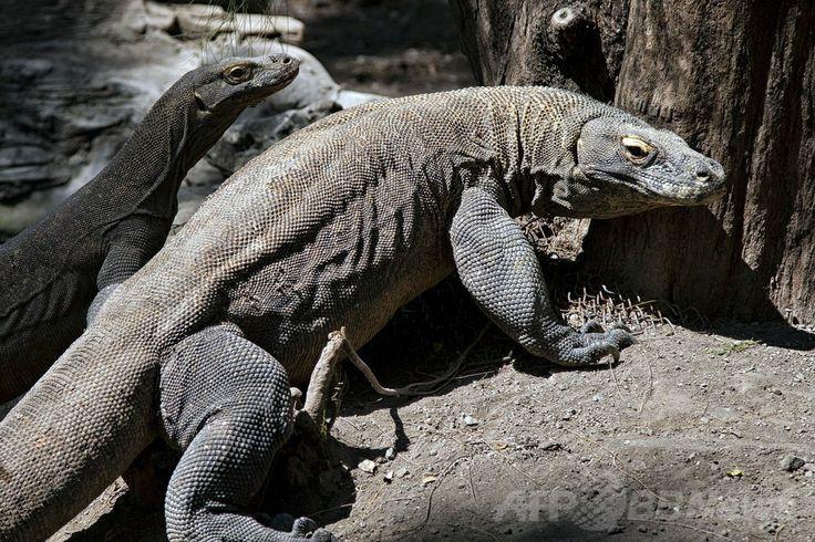 インドネシア・ジャワ(Java)島にあるスラバヤ動物園(Surabaya Zoo)の飼育施設内で撮影された2頭のコモドオオトカゲ(2014年6月2日撮影)。(c)AFP/JUNI KRISWANTO ▼4Jun2014AFP|「死の動物園」でまたコモドオオトカゲ死ぬ インドネシア http://www.afpbb.com/articles/-/3016672 #Surabaya_Zoo #Komodo_dragon #Varanus_komodoensis #Dragon_de_Komodo #Komodowaran #Dragao_de_komodo #Komodo_ejderi #Waran_z_Komodo