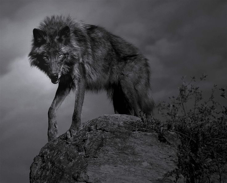 bonechiller:    lone wolf howl at the moon