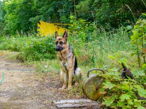 Luna, Schæferhund, Sporskifte, Gørlev