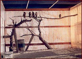 Hawks in the large raptor flight cage