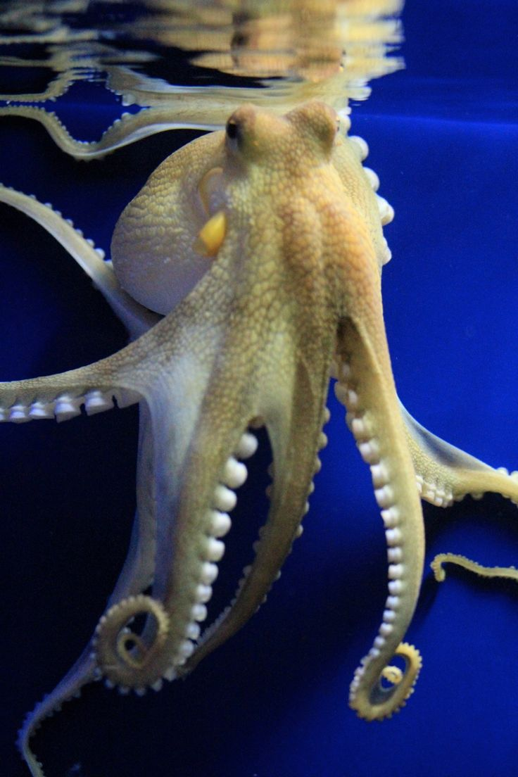 111 best octopi images on pinterest octopuses octopus and