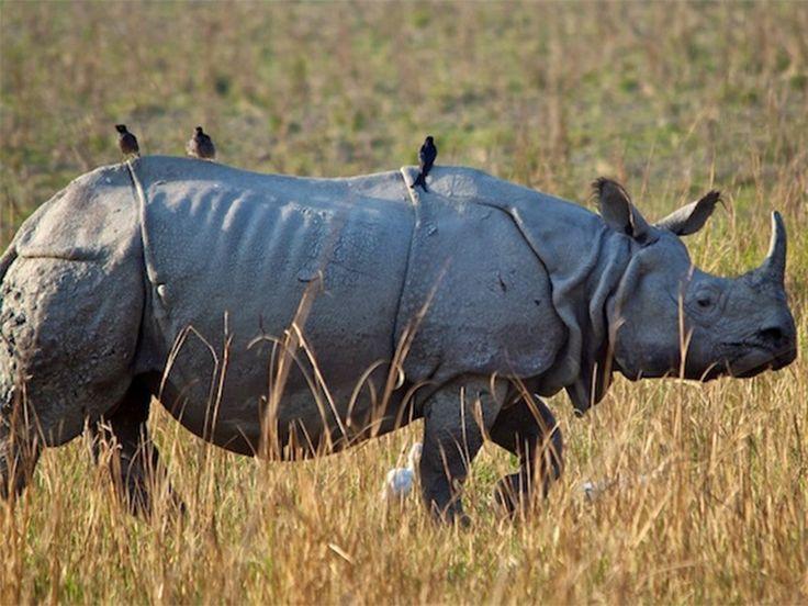 Pobitora Wildlife Sanctuary Assam, India