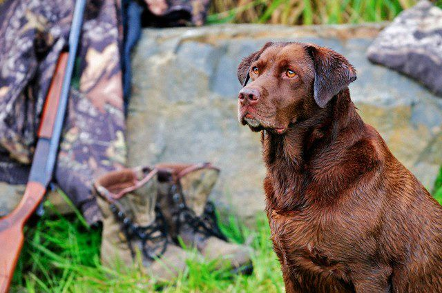 Chocolate labrador | Hunting dogs | Pinterest