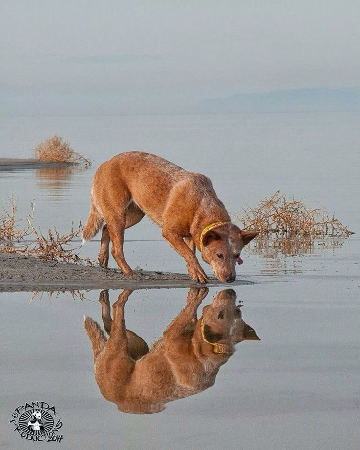 Reflection in Red / Australian Cattle Dog