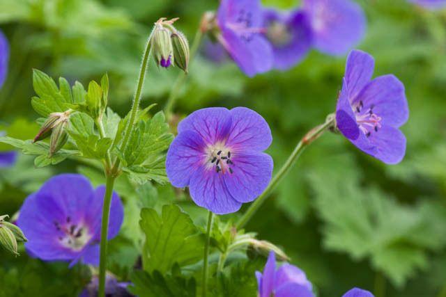 Geranium Himalayense, Grandiflorum, Himalayan Cranesbill, Geranium Meeboldii, Geranium Himalayense var. Meeboldii, Best geraniums, Best groundcovers, Blue geranium, Purple g