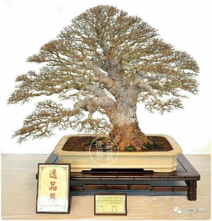 Pin oleh Johan Lim di BONSAI ART Pohon