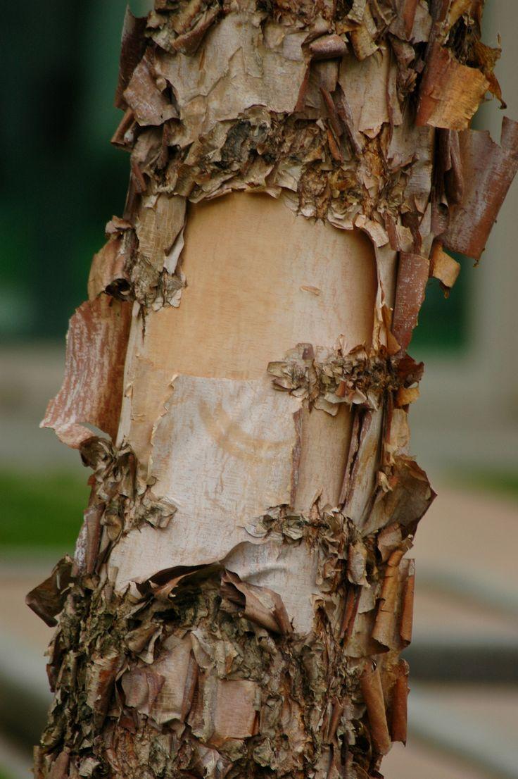 River birch with exfoliating bark