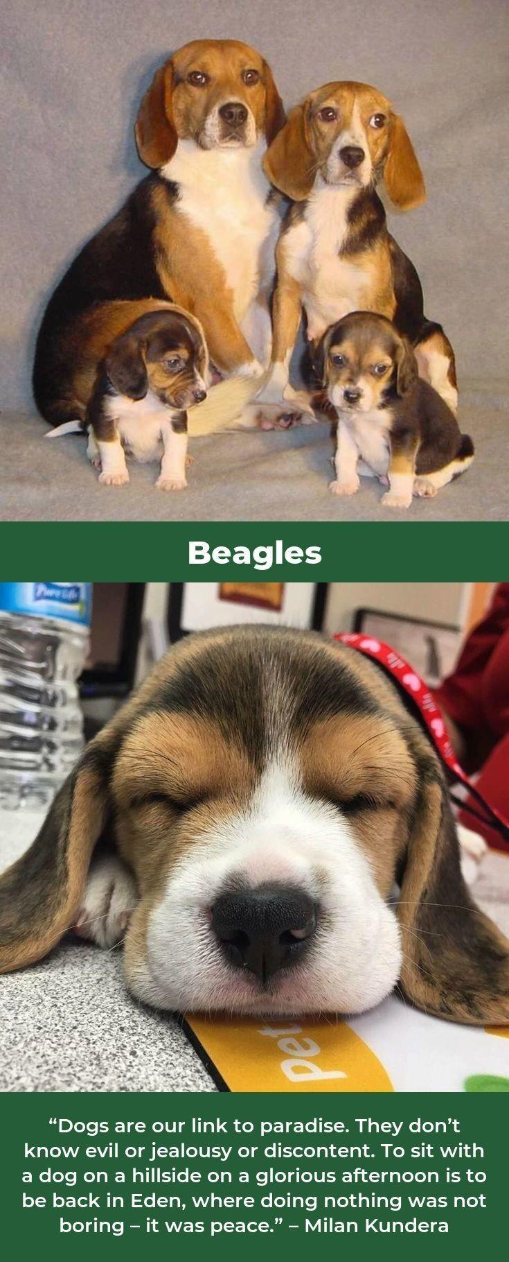 Beagle Puppies Beaglegram Beagle Beagle Beagle Puppy Beagle Dog