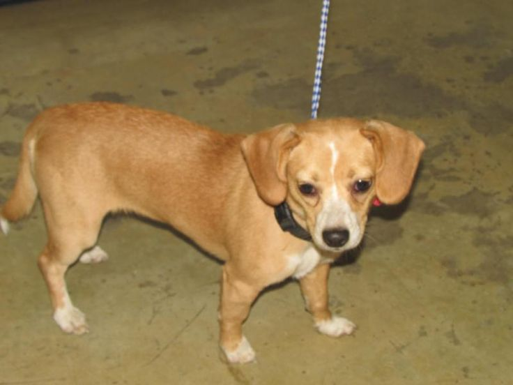 Meet Maybelle, an adoptable Beagle looking for a forever home. If you're looking for a new pet to adopt or want information on how to get involved with adoptable pets, Petfinder.com is a great resource.