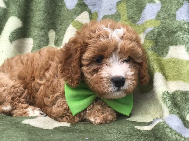 Madison : Cockapoo breeders columbus ohio