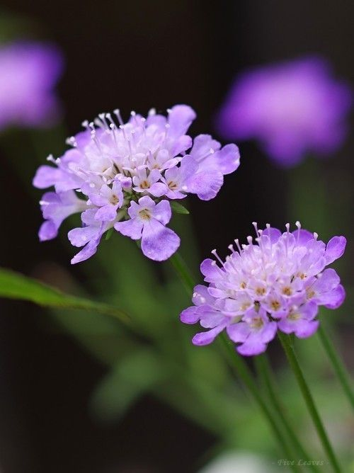 Scabiosa; Pincushion Flower Source:imgfave-hero