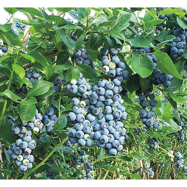 Shop 2.25-Gallon Blue Suede Southern Highbush Blueberry Small Fruit (L23286) at Lowes.com