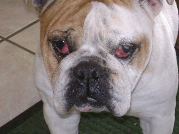 10 Daily Spot Checks For Bulldogs Brindle English Bulldog