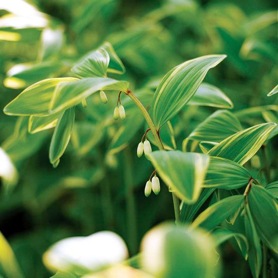 Variegated Solomon's Seal An easy-go-grow North American native plant for shade and woodland gardens, variegated Solomon's seal offers several seasons of interest. In spring, the white bell-shape flowers add interest; all summer long you'll enjoy the variegated foliage; and in autumn it turns warm shades of gold. Size: To 2 feet tall and wide Zones: 3-8 Plant it with: Lungwort, Japanese painted fern, and bleeding hear