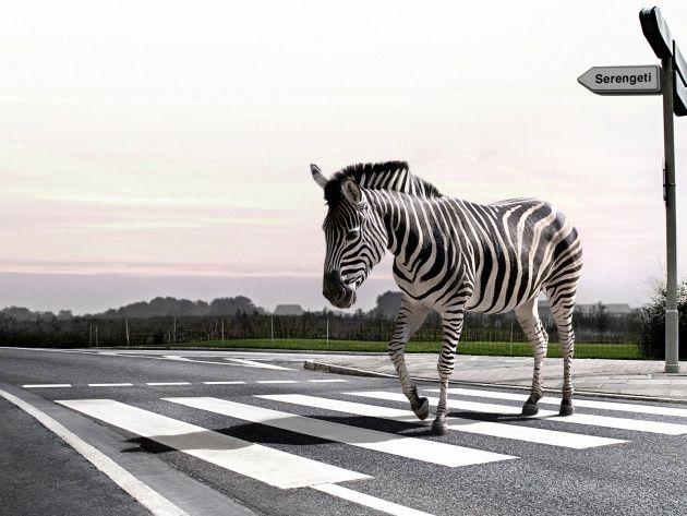 Обои Зебра пересекает пешеходный переход, фото, картинки
