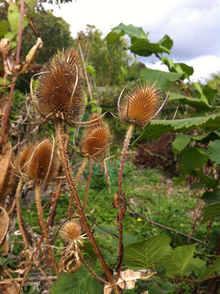 Teasel seedheads