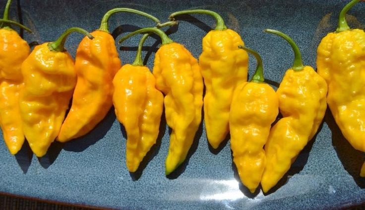 Bhut Jolokia-Yellow, (Capsicum chinense) (also known as Naga Jolokia, Naga Morich, or the Ghost Chili