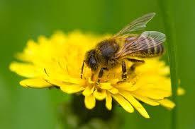 Honey Bee.  No bees:  No flowers.  No fruit.  No grains.  No food.  Bad news.