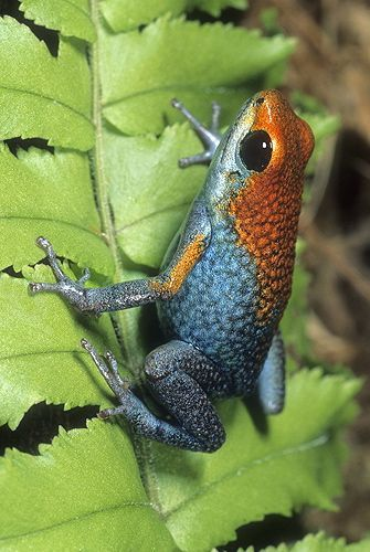 Granulated Poison Arrow Frog! Look a little like a Strawberry Poison Arrow frog:)
